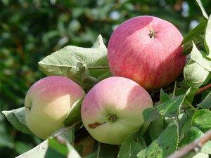 Яблоня  крупноплодная  сорт Мельба
