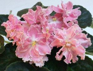 Фиалка Очень крупные махровые волнистые цветы красивого розового цвета с белой каймой и белым цент-ром. В прохладных условиях проявляется зелёная кайма. Розетка из средне - зелёных листьев.