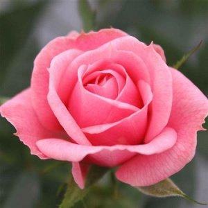 Роза спарклинг Джувел розовая