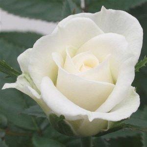 Роза Джувел белая