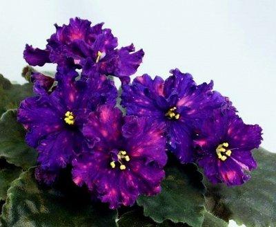 Комнатные цветы. Большой ассортимент и выбор пунктов выдачи — Фиалки. Листья с детками. — Декоративноцветущие