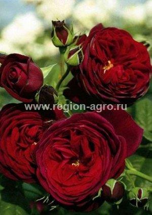 Роза Морелло, шраб (Сербия)