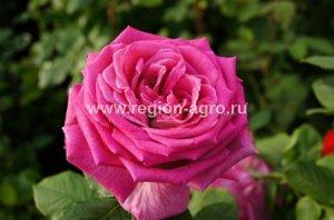 Роза Парпл Фрагранс, ЧГ (Сербия)