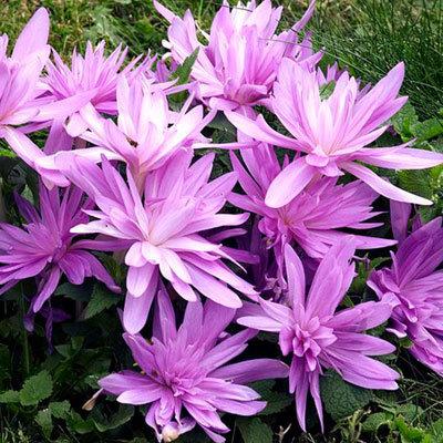 Лук севок, чеснок, пионы, тюльпаны и другие...Распродажа. — Разные луковичные в наличии — Семена цветов