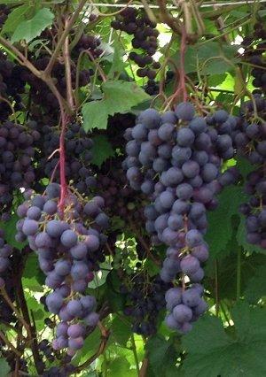 Виноград Загадка Шарова (Код: 77250)