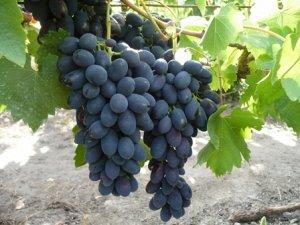 Виноград Кодрянка (Код: 77602)