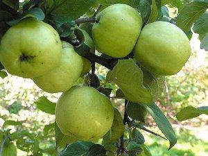 Яблоня Антоновка (Код: 80053)