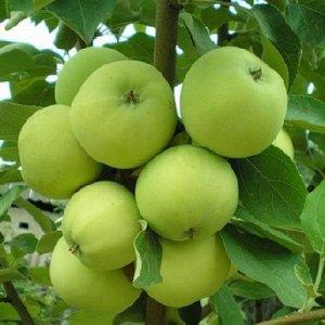 Яблоня Белый налив (Код: 77462)