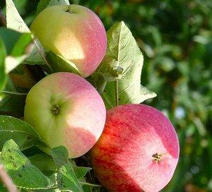 Яблоня Мельба (Код: 74041)