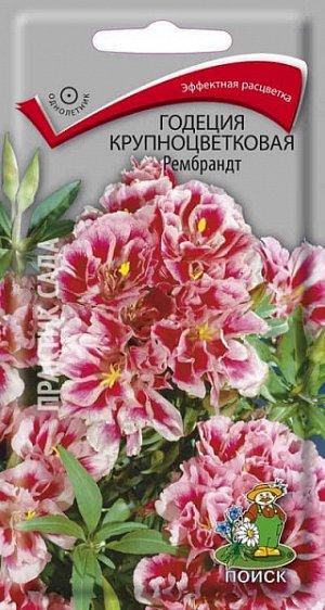 Годеция Крупноцветковая Рембрандт