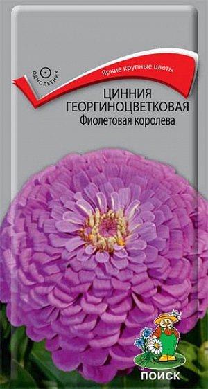 Цинния Георгиноцветковая Фиолетовая королева