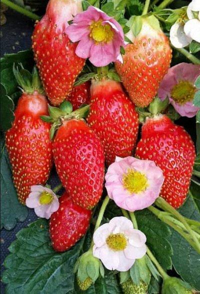 Семена плодово-ягодных кустарников и других растений — Семена ягод — Семена ягод
