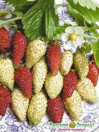Семена от бегонии до петунии, а также семена овощей и зелени — Спелая, сладкая, красная, ароматная - СЕМЕНА КЛУБНИКИ — Семена овощей