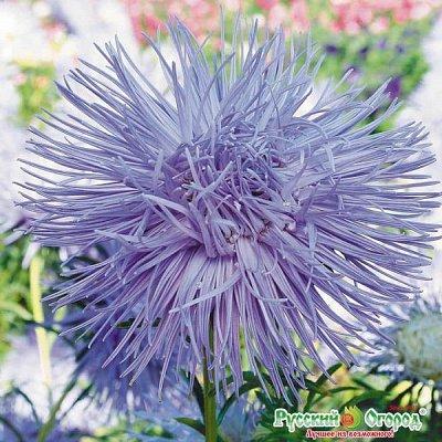 Семена плодово-ягодных кустарников и других растений — Русский размер. Цветы — Семена цветов