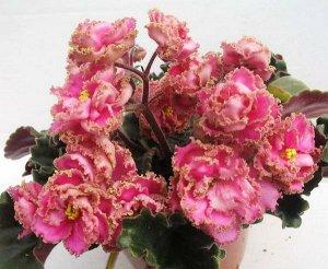 Фиалка Крупные махровые звёзды насыщенно - розового цвета с зелёной гофрированной каймой. Тёмно - зелёные, слегка волнистые листья. Обильное цветение.