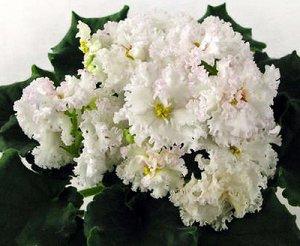 Фиалка Крупные кружевные белые махровые цветы с тонкой гофрированной розово - малиновой каёмочкой по лепесткам. Светлая аккуратная розетка из слегка волнистых листьев. (Описание автора)