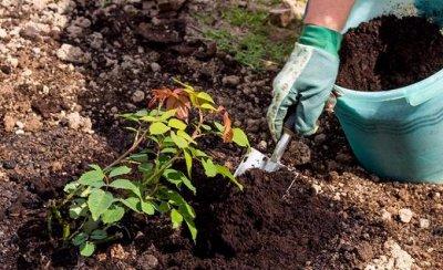Розы Сибири !  Редкие Сорта🌹 Предзаказ Весна 2021 — Как сажать — Декоративноцветущие