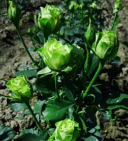 Аннакира Куст миниатюрный, высотой до 70 см. Цветы небольшие, густомахровые, зеленоватого цвета, собраны в соцветия по 7-10 шт. Постоянноцветущая.  Лист зеленый, глянцевый. Сорт зимостойкий. Устойчиво
