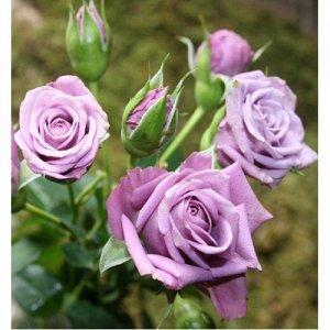 Билона Один из сортов с редким сиренево-фиолетовым колором махровых бутонов, собранных в букет на одной ветке. Диаметр цветов - 4-6 см.  Цветение обильное, длительное. Высота куста 40-50 см, ширина до