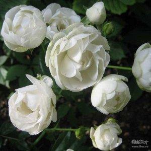 Глобус Роза мини. Высота куста 40-45 см, ширина - до 50 см. Цветы густомахровые, шаровидные, 5 см в диаметре. Цвет- белоснежный. Куст обильно - и повторноцветущий. Устойчив к заболеваниями морозам.