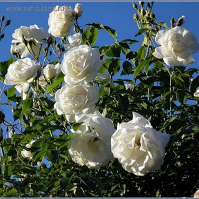 Розы Сибири !  Редкие Сорта🌹 Предзаказ Весна 2021 — Парковые и плетистые  — Декоративноцветущие