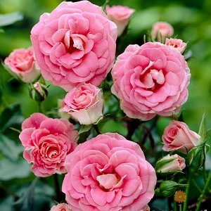 Том-Том Цветок розовый аккуратный, махровый (20-30 лепестков), чашевидной формы., 8 см в диаметре.  В соцветиях 8-20 бутонов. Цветут почти непрерывно, небоятся дождя. Ветвистый, прямостоячий куст высо