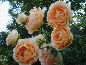 Полька Сорт высотой 150-250 см выращивают либо как невысокую плетистую розу - клаймбер, либо как крупный дугообразный шраб. Насыщенная абрикосовая окраска цветка диаметром 6-7 см выгорает по краям до