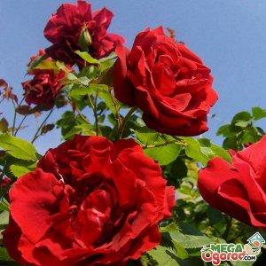 Сантана Высота 2-2,5 м, побеги сильные. Лист зеленый. Куст раскидистый. Цветы средне-махровые, ярко-красные. Лист темно-зеленый. Цветение обильное.Устойчивость к болезням и зимостойкость высокие.