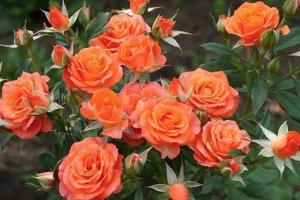 Мандарин Цветки оранжево-желтые до абрикосово-желтых, чашевидной формы, диаметром до 4 см, густомахровые (20-25 лепестков), с чайным ароматом, по 3-5 шт. в соцветии. Кусты слегка раскидистые, густые,