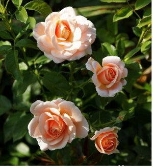 Милки Вей Цветки абриковсово-розовы, махровые, бокаловидные. Цветёт обильно, по 20 бутонов. Высота куста 50-60 см. Сорт ароматен. Лист тёмный, глянцевый. Сорт вынослив.