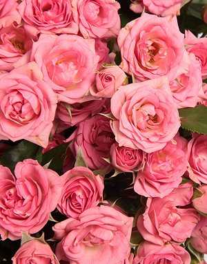 Спрей розовый