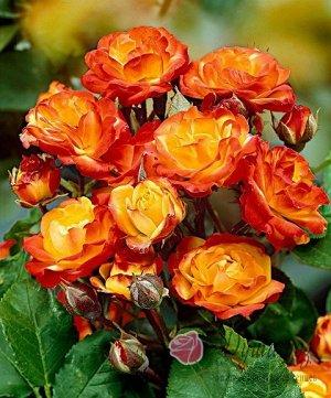 Тайфун Очень яркая и привлекательная роза-спрей. Куст 60-80 см. Цветет практически непрепывно. Бутоны, собранные в соцветия, имеют слабый прич=ятный аромат. Сорт очень вынослив.