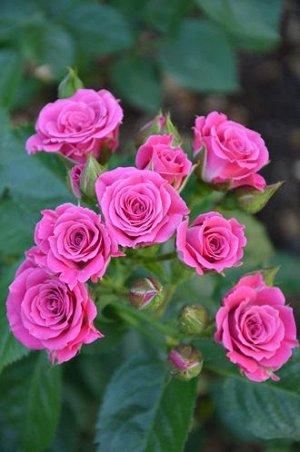 Лиана Насыщенный розовый оттенок бокаловидных небольших бутончиков. Соцветия от 8 до 15 цветов.  Куст 60-70 см, компактный, неширокий. Цветет непрерывно весь сезон. Лист зеленый, матовый. Устойчивость