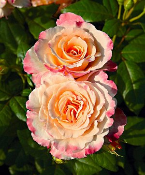 Акварель Сочетание кремовых, молочных, желтых, оранжевых, персиковых тонов на этом густомахровом цветке поражает. Обильно цветущий, с устойчивым ароматом и гофрированным лепестком. Высота куста 70-90