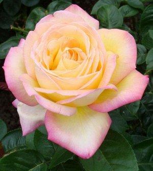 Глория Дей Одна из самых популярных роз в мире. Ее золотисто-желтые цветки с розовым краем в диаметре до 15 см состоят из 45 лепестков. Бутоны махровые, крупные, со слабым ароматом. Листья темно-зелен