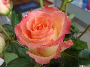 Дуэт Цветок персиково-розовый, махровый. Бутон полный (26-40 лепестков). Куст высотой 80-120 см. Лист зелёный, сочный. Высокоусточив к заболеваниям, зимостоек. Повторноцветущий.