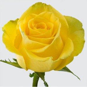 Латина Нежно-лимонно-желтая роза, бокаловидная (5-6 см), махровая (35-40 лепестков). Высота куста 60-80 см. Лист темный. Устойчивость к болезням средняя.