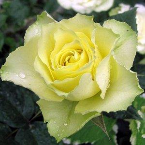 Лимбо Зеленая роза, очень изящна и необычна. Бутон крупный густомахровый, удлиненной формы, цветок лимонный с зеленоватым оттенком, крупный 10-12 см, махровый 45-50л. Куст крепкий, высотой 80см, листь