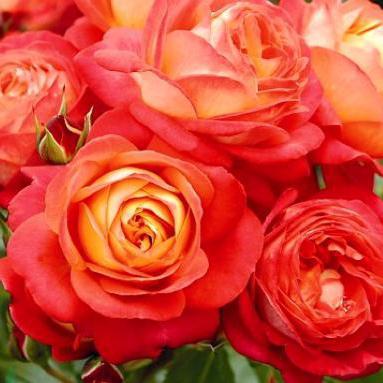 Розы Сибири! 🌹 Предзаказ Весна 2022 * Новинки* Оплата 50/50 — Флорибунды + Новинки