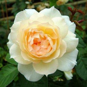 Чайковский Цветок классической старинной формы с махровой структурой лепестков. Цветы окрашены в нежный кремовый цвет, переходящий к центру в более насыщенный, персиковый оттенок. Диаметр цветов – 8-1