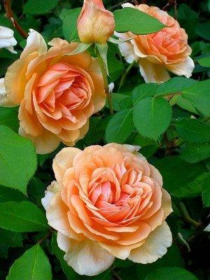 Пегасус Цветки ярко абрикосовые в центре, к краю бледнеющие. Диаметр цветка 10-12 см, собраны в соцветия по 2-5 шт. Обладает ароматом чайной розы. Куст высотой 100-120 см. Устойчив к морозам и болезня