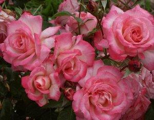 Венченблау Цветки полумахровые, более 2,5 см в диаметре, окраска эффектная, фиолетовая с белыми полосками; в полутени цветки распускаются сиренево-голубые. Куст сильнорослый, высотой350-400 см. Листья