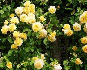 Казино Цветет махровыми светло-желтыми цветками из 17-25 лепестков, цветение может повториться в течение сезона. В высоту куст часто превышает 3,5 м. Устойчив к болезням.