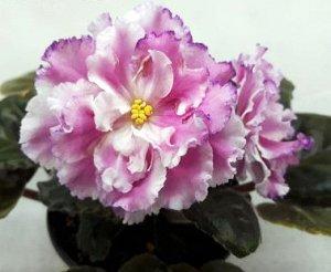 Фиалка Нежно - розовые крупные полумахровые и махровые звёзды с белым центром, ярко - розовыми кончиками лепестков и фуксиево - малиновой фрагментарной каймой. Тёмные слегка волнистые листья.