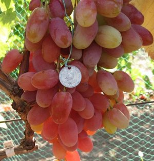 Виноград Потомок Ризамат