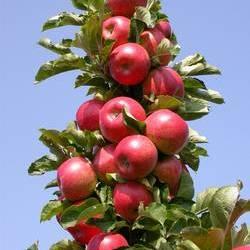 Яблоня Готика колоновидная