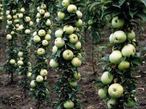 Яблоня Малюха колоновидная