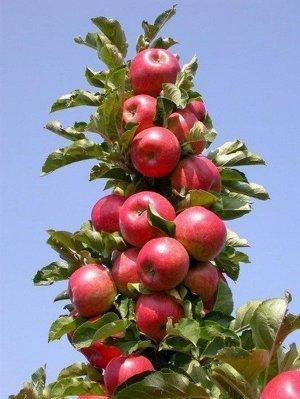 Яблоня Стрела колоновидная