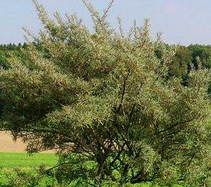 Облепиха  Алей-мужское растение (2-х летний саженец )