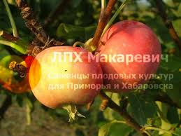 Яблоня Амурское Красное (1 летний саженец )